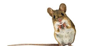 image: Visumløs mus forsinket British Airways-fly til San Fransisco