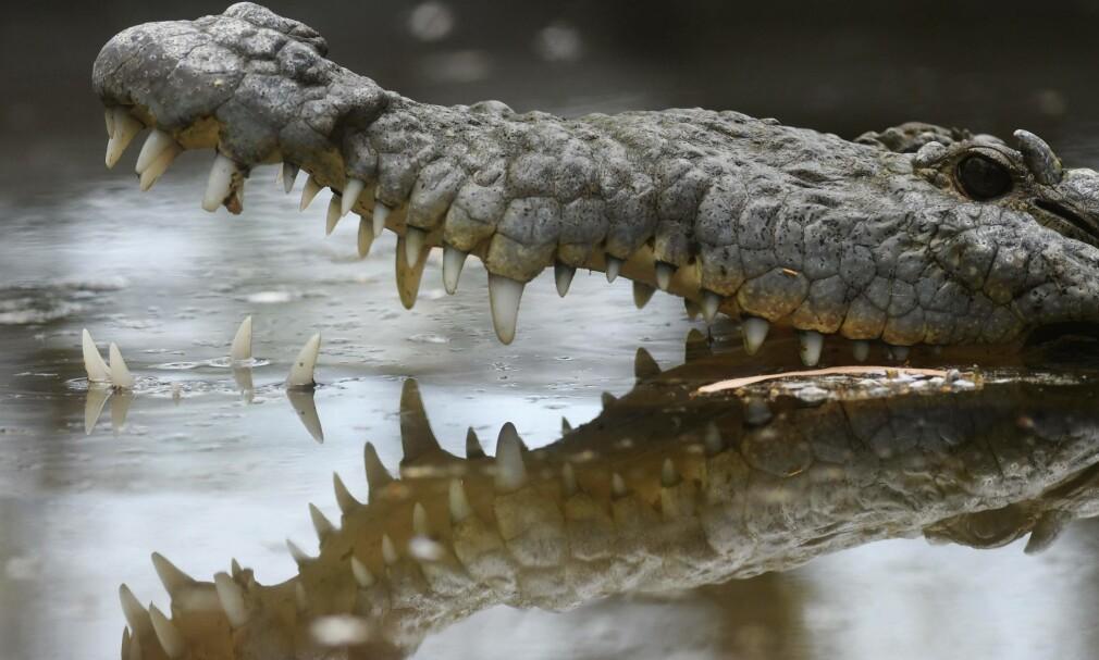 STEINET: Krokodillen ble drept etter å ha fått to store steiner i hodet tirsdag kveld. Foto: Illustrasjonsbilde, AFP PHOTO / Marvin RECINOS