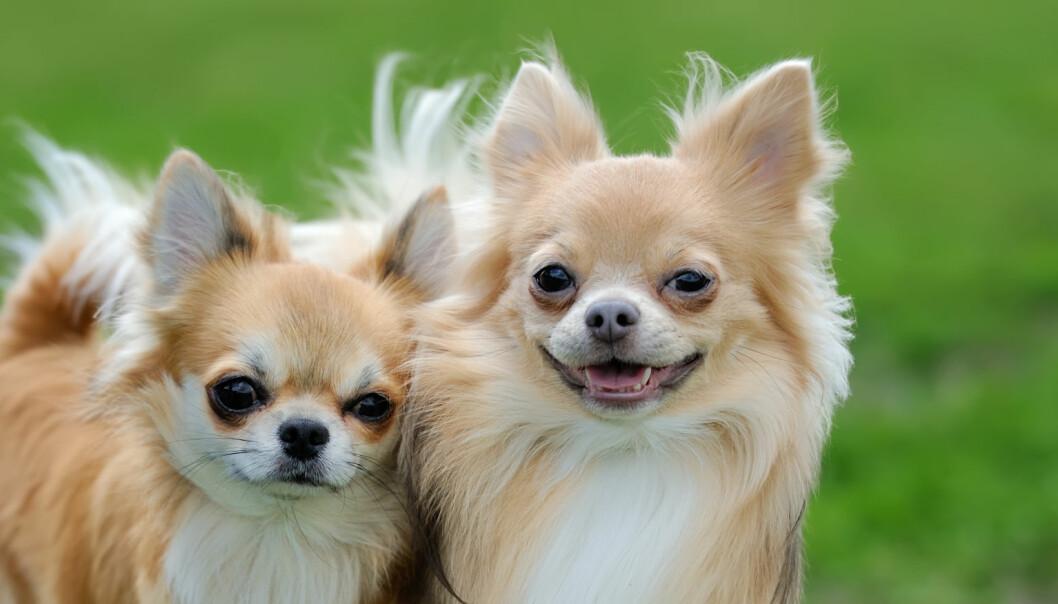 Noen hunderaser koster flere tusen kroner mer å forsikre enn andre
