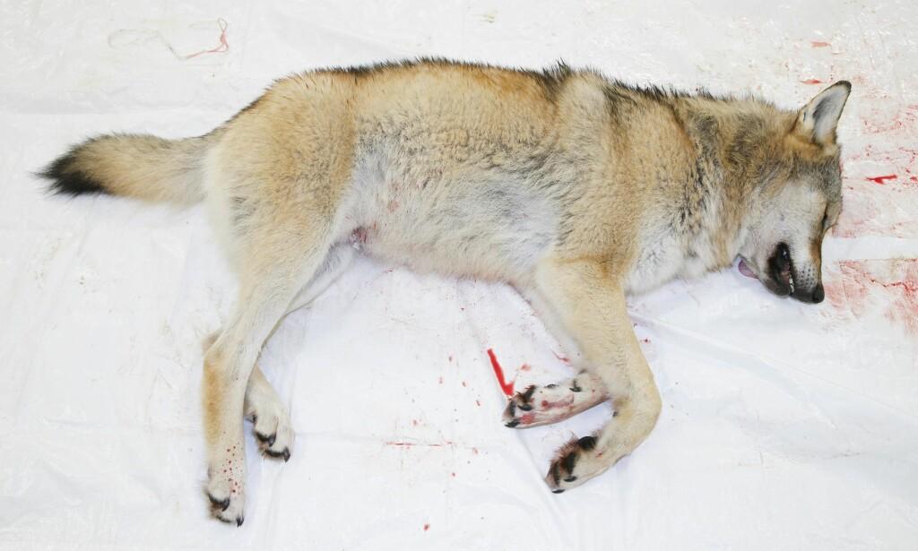 Utryddelse: Hvorfor skal ulvene og de andre rovdyrene nesten utryddes? spør kronikkforfatteren. Denne ulven ble skutt i Ringsaker i januar. Foto: Terje Pedersen / NTB scanpix