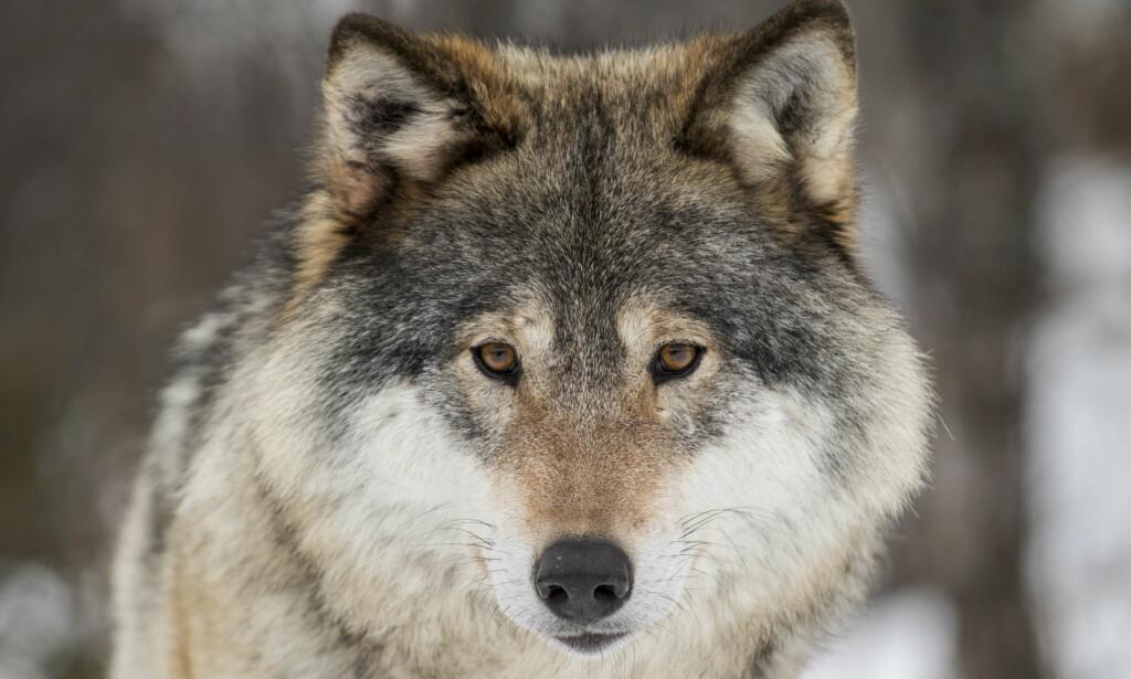 ULVEJAKT: Klima- og miljøminister Ola Elvestuen (V) setter foten ned for et forslag om å forlenge ulvejakta med en måned. Denne hannulven er uansett trygg – den holder til i Langedrag naturpark. Foto: Heiko Junge / NTB scanpixs Foto: Heiko Junge / NTB scanpix