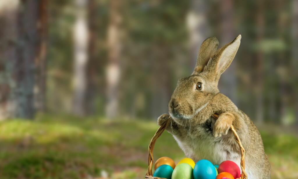 PÅSKE: Mange forbinder påsken med påskeharer, eller påskekanin, Easter Bunny, som den kalles i USA. Myten om påskeharen er det kanskje ikke så mange som kjenner. Foto: Alexey Poprotskiy / Shutterstock / NTB Scanpix