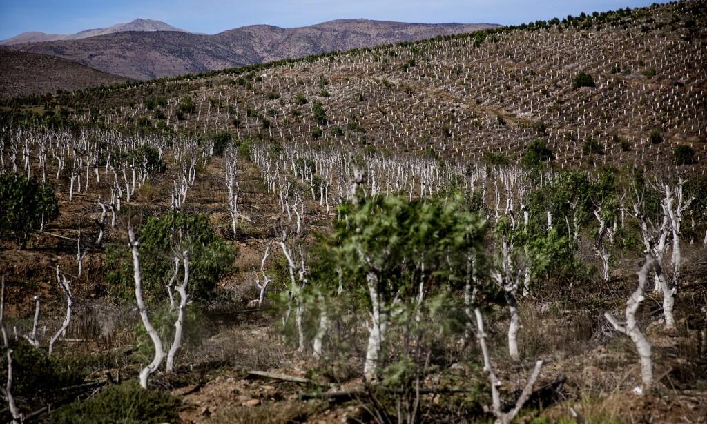 TRIST SYN: Petorca-provinsen er full av forlatte plantasjer, hvor det nå kun står igjen hvite, avhuggede stammer fra avokadotrær. Foto: Danwatch / Uffe Weng