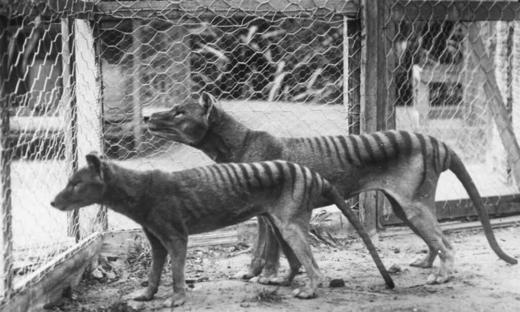 image: Siden 1936 har dyret hatt status som utryddet. Nå skal forskerne prøve å motbevise seg selv