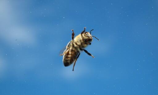 PÅ JOBB: Vårblomstringen er like om hjørnet, og biene forbereder seg til å gå på jobb. Foto: Norges Birøkterlag/Eli Åsen