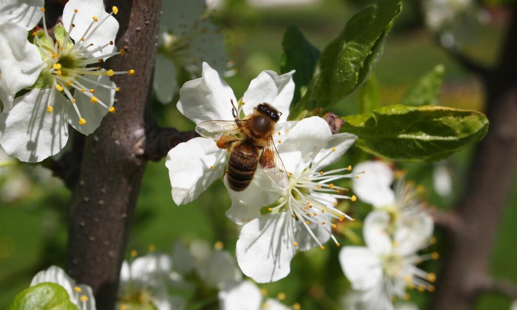 FOR FÅ: Vårblomstringen er rett rundt hjørnet, men alt for få bier er ute og flyr, fastslår Norges Birøkterlag. Foto: Eli Åsen/Norges Birøkterlag