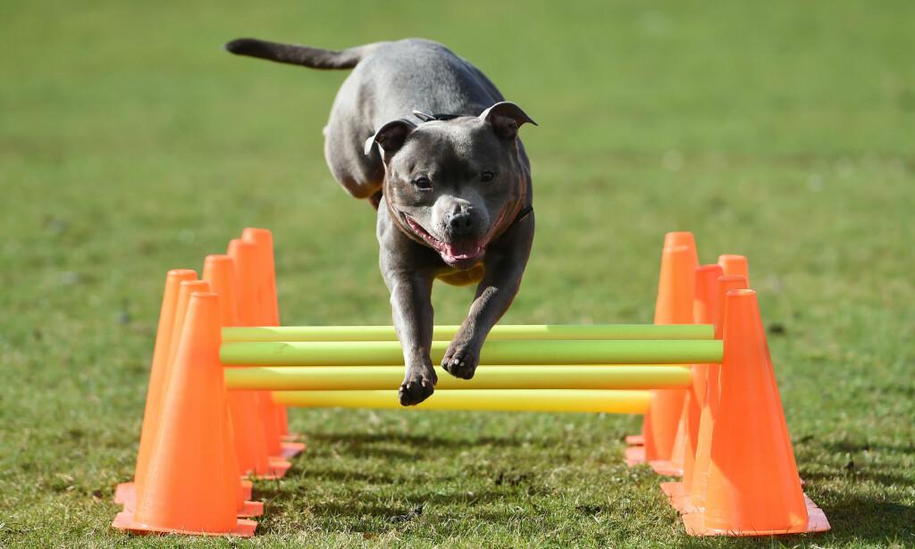 RASEN: Mannen ble drept av sin egen hund av rasen Staffordshire bull terrier. Her en hund av samme rase under en utstilling i Birmingham tidligere denne måneden. Foto: PA / NTB scanpix