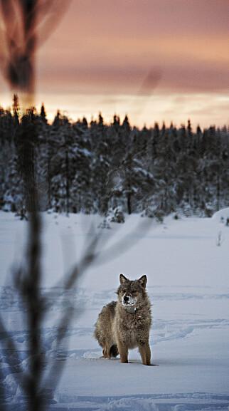 FÅ FORFEDRE: All ulv i Skandinavia stammer fra fem stamforeldre, ifølge NINA. Her er en ulv fotografert ved Slettåsreviret i skogene mellom Elverum og Trysil. Foto: Jørn H. Moen / Dagbladet