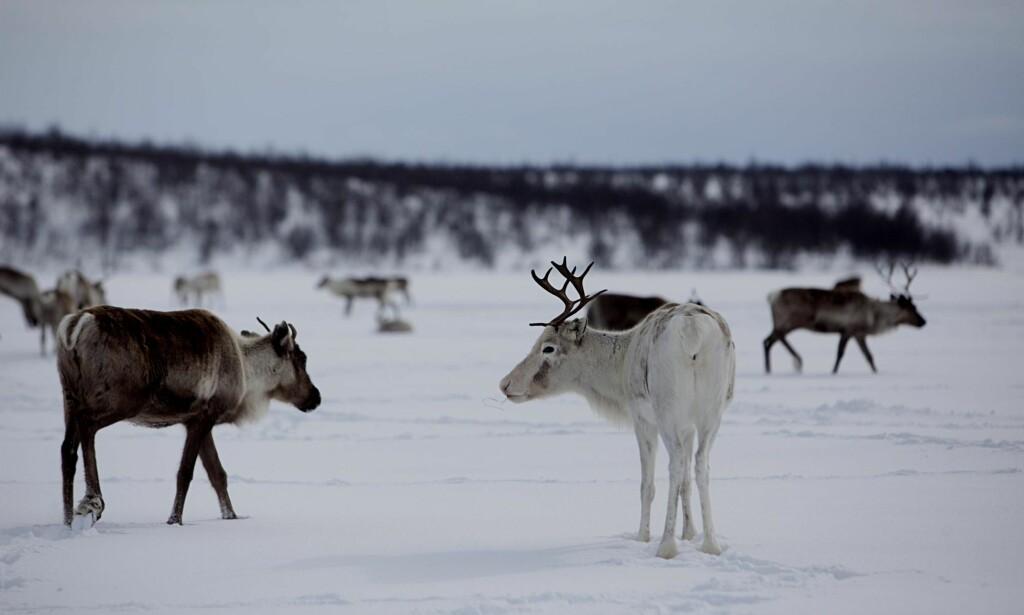 """REINSDYR: Hvordan kan nedslakting av hele reinsdyrstammen i Nordfjella innen ett år gjennomføres uten at det blir et gedigent brudd på dyrevelferdsloven? spør artikkelforfatteren. Denne reinen befinner seg i Kautokeino. Foto: Stian Lysberg Solum /  N<span style=""""background-color: inherit;"""">TB Scanpix&nbsp;</span>"""