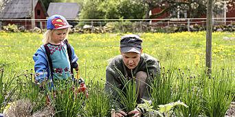 image: - Kinesisk gressløk ser ut som ugress, smaker som hvitløk, og er som poteten. Slik dyrker du den