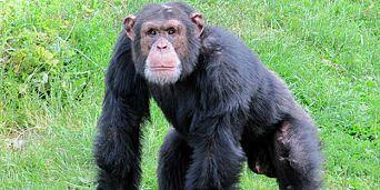 image: Hunn-sjimpansene jaget Ricardo (20) i døden