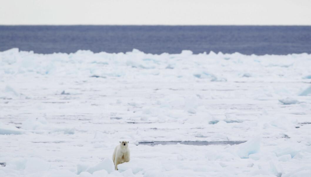 <strong>KLIMAENDRINGER:</strong> Forskere har flere ganger slått fast at dersom isen fortsetter i smelte, kan isbjørnen i yttesrte konsekvens dø ut. USA trekker seg ut av Parisavtalen og forskere er redd for konsekvensene det vil få for togradersmålet. Foto: Håkon Mosvold Larsen / Scanpix