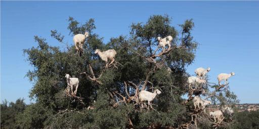 image: Her lærer geitene å klatre i trær