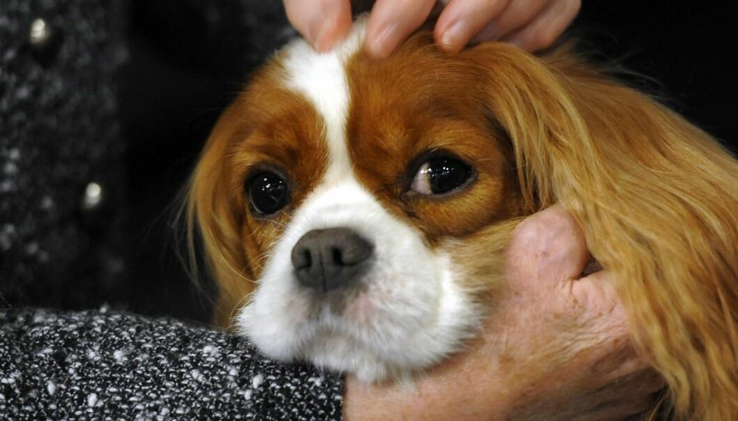 1500 dyrleger har undertegnet opprop mot uetisk hundeavl. En av Norges mest populære raser trekkes fram