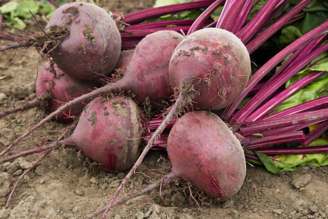 Harvested Beets, organic vegetable. Foto: All Over Press