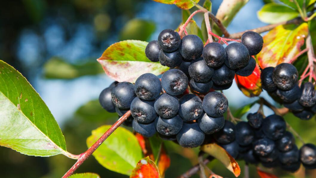 <strong>POPULÆR PRYDBUSK:</strong> Aroniabusken har store sorte bær og illrøde blader nå på høsten. Bærene er supersunne, men det er kanskje ikke alle som er klare over at de kan spises? Let etter bær som ligner på bittesmå epler! Foto: NTB Scanpix
