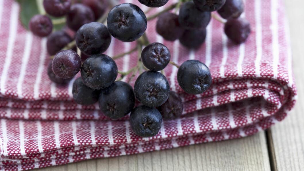 <strong>ARONIA:</strong> Svartsurbær, som de også kalles, er superantioksidantrike, men litt bitre. Derfor lønner det seg å ha litt is i magen, og vente med å høste dem til etter den første frostnatta. Foto: NTB Scanpix