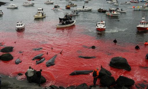 image: Havet farges rødt av blod etter det årlige «Grindadráp»