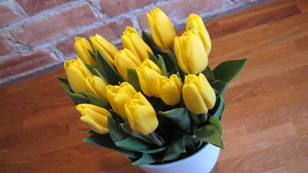 <strong>GLEDESSPREDER:</strong> Tulipaner er en av favorittblomstene våre, og kan holde i flere uker om vi behandler dem riktig. Foto: Stine Okkelmo
