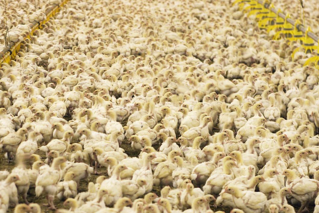 FARE FOR PARASITTER: Måten kylling produseres på, gjør det nesten umulig ikke å bruke antibiotika. Dette bildet er tatt i Frankrike. Foto: All Over Press