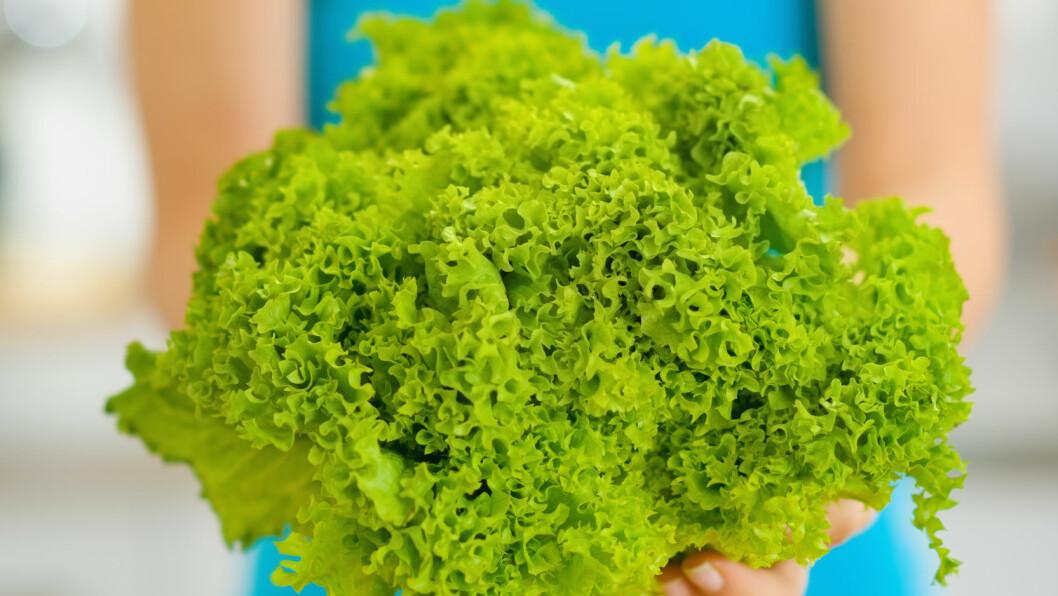 TILBERED RIKTIG: For at salaten skal holde lengst mulig - også etter at du har tilsatt dressing, er det lurt å tilberede den riktig, og det kan være lurt å droppe kniven. Foto: Alliance - Fotolia