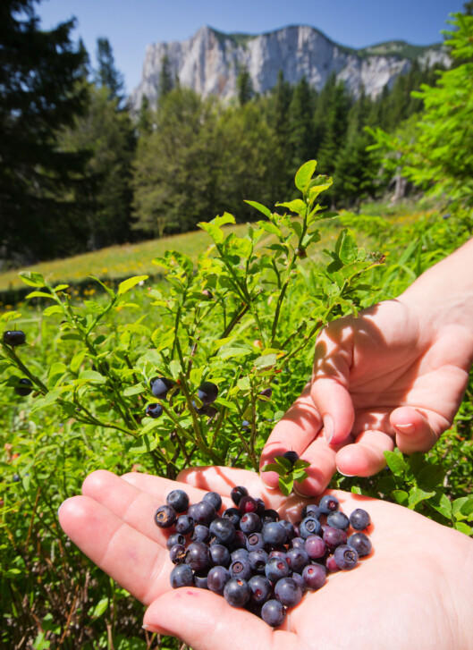 VILLE BÆR: Norske blåblær er blålilla inni.  Foto: Budimir Jevtic - Fotolia