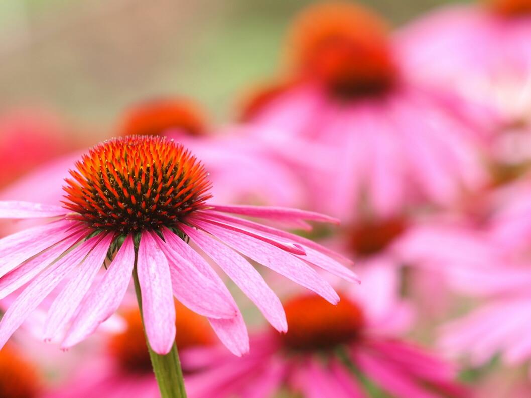 SOLHATT: Den vakre blomsten solhatt kan redusere varigheten av en forkjølelse med en og en halv dag.  Foto: Ichbins11 - Fotolia