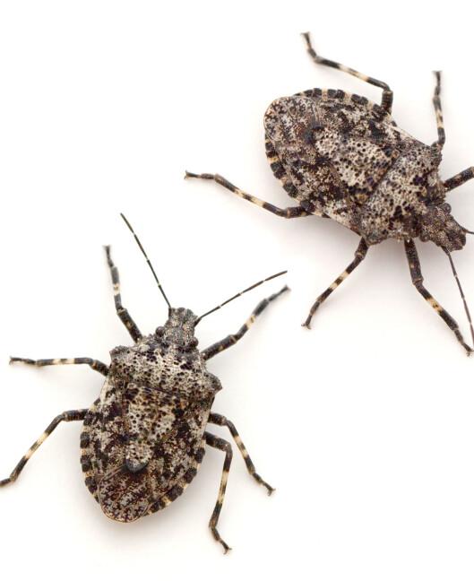<strong>BREITEGER:</strong> På engelsk stink bug, bør helst ikke spise rå.  Foto: epantha - Fotolia