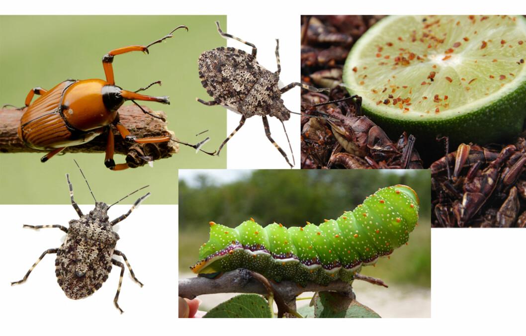 <strong>ER DU KLAR FOR Å SPISE INSEKTER:</strong> Ifølge ekspertene blir det en stadig større utfordring å ha nok mat til verdens nesten åtte milliarder mennesker, og de ser nå mot insektene som næringskilde.  Foto: Fotolia