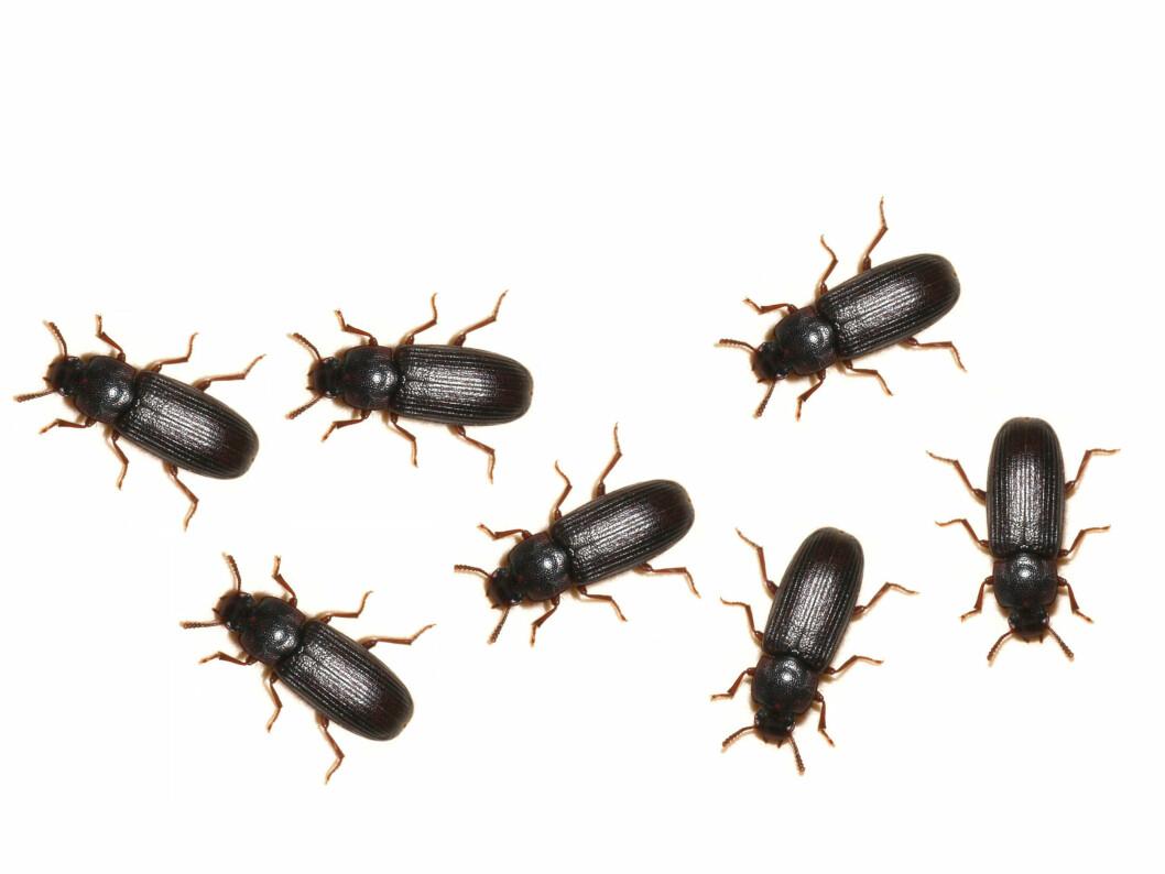 MATVARER: Melbiller angriper først og fremst matvarer som mel, havregryn, kjeks og frokostblandinger.  Foto: Aller Internett