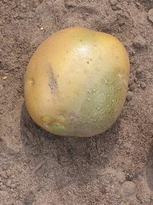 HIV DEN: Poteten blir grønn om den utsettes for sollys. Foto: Wikimedia