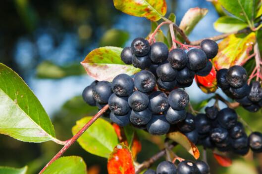 PRYDBUSK: Svartsurbær, eller aroniabær, er ikke et sjeldent syn i norske hager. En norsk undersøkelse viser at bæret kan virke forebyggende mot urinveisinfeksjoner.  Foto: Scanpix