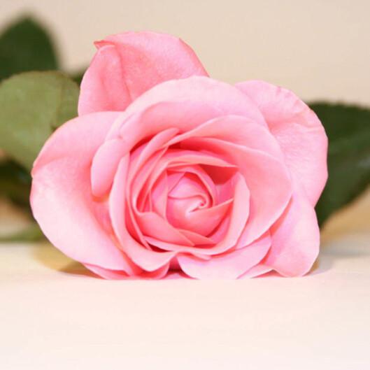 Rosa Jeg er forelsket i deg og lover deg troskap.