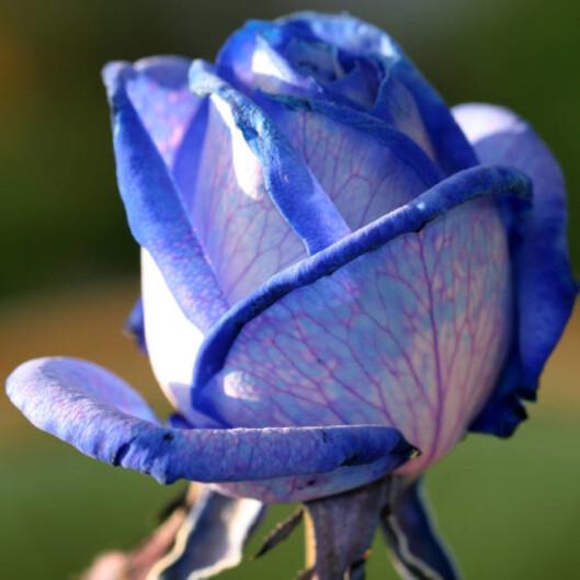 BlåJeg vil alltid være ved din side.