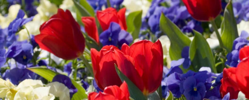Røde, hvite og blå blomster i en bukett betyr frieri!
