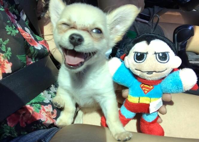 <strong>BLID BISK:</strong> Hunden Chewy har kommet seg. Foto: Connor and Millie's Dog Rescue