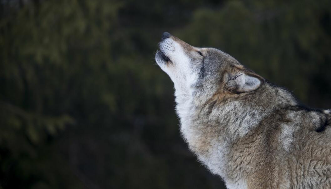 <strong>VANSKELIG FOR SAUEBØNDER:</strong> Kristian N. Kvikstad mener Vidar Helgesen gjør det vanskelig for bøndene når ikke flere ulver kan felles. Foto: Heiko Junge / NTB scanpix