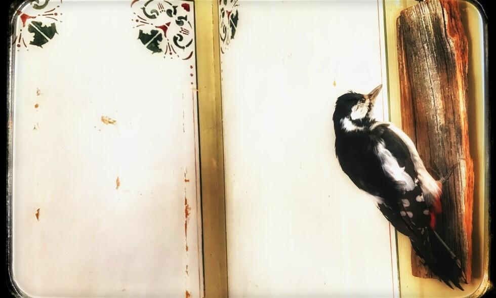 MILES PÅ VEGGEN: Tilbake i Å i Meldal igjen for å snakk om de samme tingene og forsøke å fiske, og på veggen henger denne hakkespetten som vi kaller Miles Davis fordi den henger med ryggen til verden. Kind of Blue. Foto: Tom Stalsberg