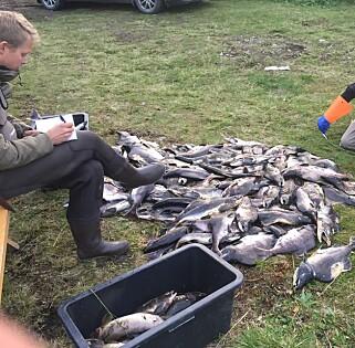 TAS UT: Bare i august i år har Naturtjenester i nord, laksefiskere og frivillige tatt opp flere tusen pukkellaks fra elvene i nord. Foto: Rune Muladal