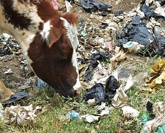 INNFØRER FORBUD: Denne kua beiter på ei søppelfylling i byen Ngong utenfor Nairobi Kenya, og vasser i plast. Nå innfører Kenya forbyd mot bruk av plastposer i håp om å få bukt med landets største miljøproblem. Foto: NTB Scanpix