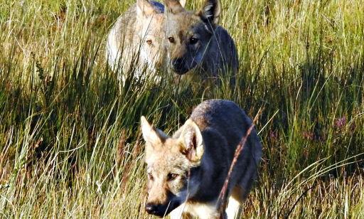 image: Her tar Robert helt unike bilder av de ukjente ulvevalpene i Elverum: - Helt utrolig