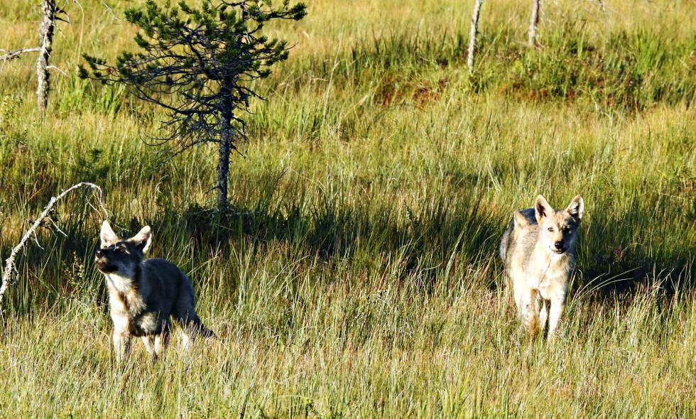 I FAMILIE: Blant ulvene i Skandinavia er det en ekstrem grad av innavl, viser en ny studie. Bildet viser tre ulvevalper (en skjult bak t.h.) fra Letjerna-reviret i Elverum. Foto: Robert Huldt