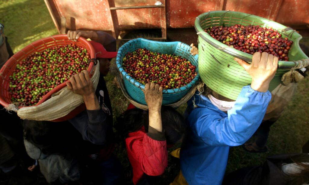 MINDRE AVLINGER: Kaffe er en av de mest verdifulle varene på jorda, og trenger et bærekraftig klima og polinerende bier for å lykkes med å produsere nok. Foto. Juan Carlos Ulate/NTB Scanpix