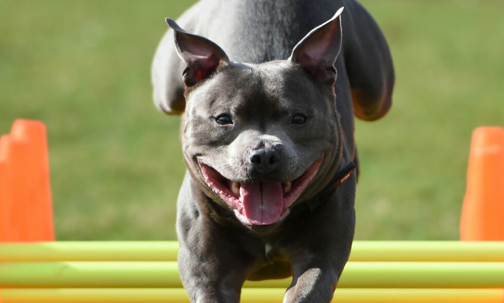 RASEN: Mannen ble drept av sin egen hund av rasen Staffordshire bull terrier. Her en hund av samme rase under en utstilling i Birmingham tidligere i år. Foto: PA / NTB Scanpix