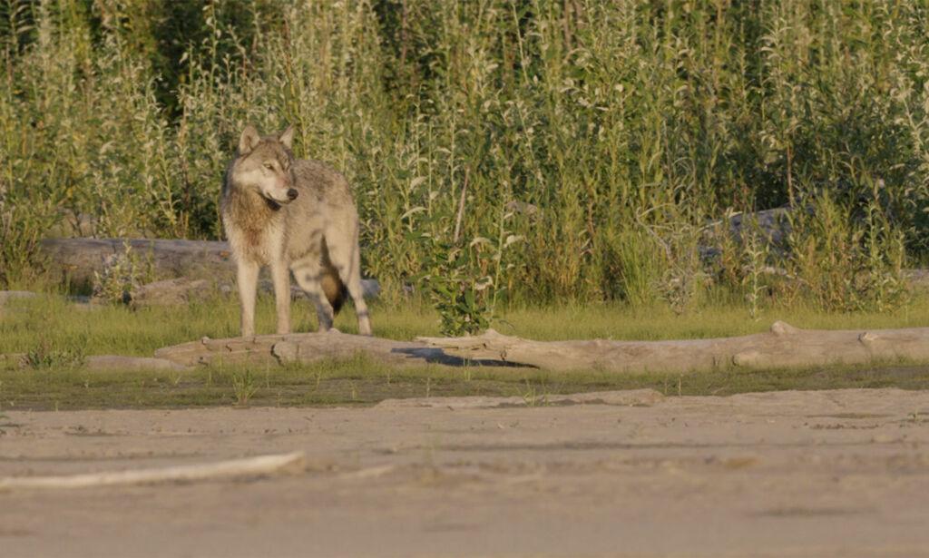 image: Nordmenn plutselig omringet av sultne ulver i Alaskas ødemark: - Jeg kjente på redsel