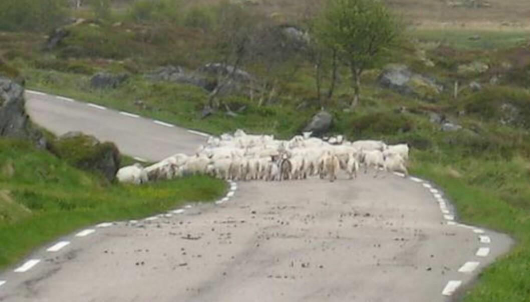 <strong>KILEBUKKER:</strong> Ved Moland møtte jeg en bøling med geiter som stod midt i veibanen.