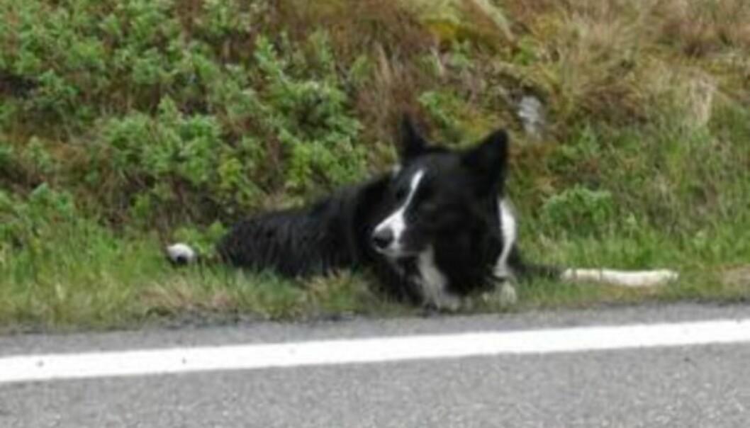 LYDIG: Gjeterhunden Java venter på signal