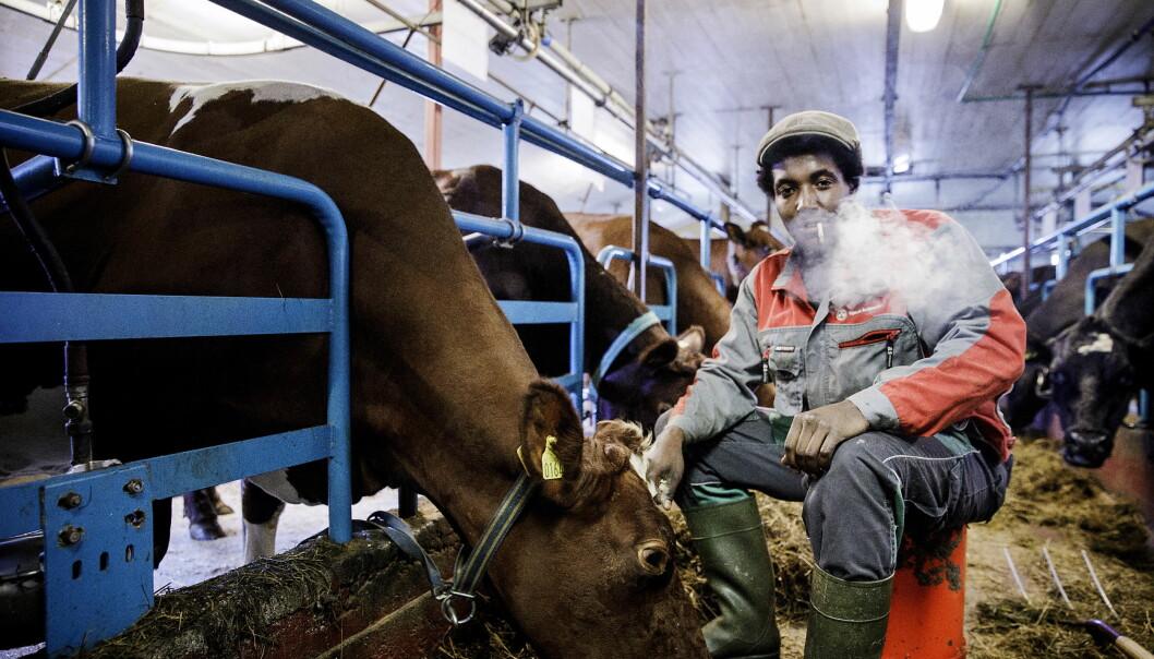 INGEN KJÆRE MOR: «Farmen»-deltakeren Kristian Krubel Djupdal (21) er sikker på at han aldri kommer til å sitte beruset bak rattet igjen. Her i vante omgivelser med kyr, høy og rulletobakk, i et fjøs utenfor Gjøvik. Foto: Nina Hansen