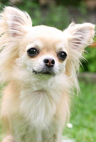 <strong>POPULÆR KOMPIS:</strong> Hvilken hunderase du velger, avhenger gjerne av hvilken alder du har. Chihuahua, som på bildet, er populære blant de yngre. Foto: Shutterstock/NTB Scanpix