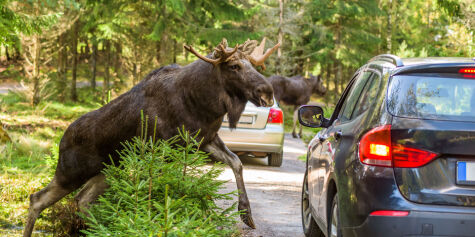 image: Dette må du gjøre om du kjører på et vilt dyr